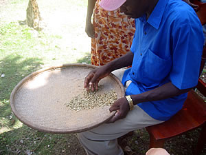 Grower-hand-sorts-coffee.1